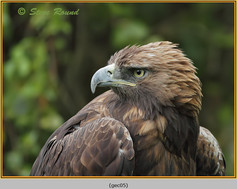 golden-eagle(c)-05.jpg