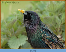 starling-55.jpg