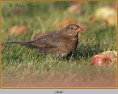 blackbird-44.jpg