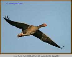 greylag-goose-03.jpg