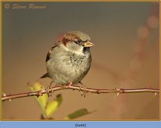 house-sparrow-44.jpg