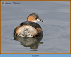 little-grebe-28.jpg