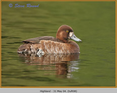 tufted-duck-08.jpg