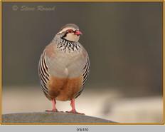 red-legged-partridge-16.jpg