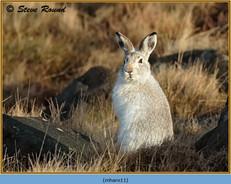 mountain-hare-11.jpg