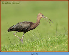 glossy-ibis-10.jpg