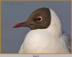 black-headed-gull-13.jpg