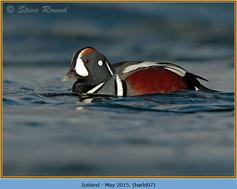 harlequin-duck-07.jpg