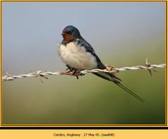 swallow-08.jpg