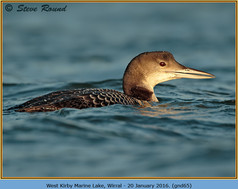 great-northern-diver-65.jpg