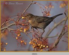 blackbird-83.jpg