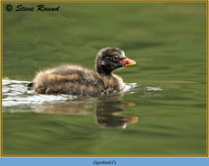 little-grebe-07.jpg