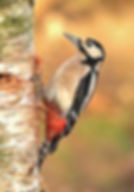 great-spotted-woodpecker-1.jpg