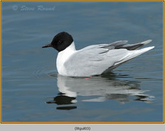 little-gull-03.jpg