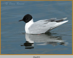 little-gull-03.jpg