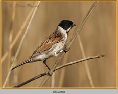 reed-bunting-40.jpg