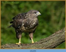 buzzard- 60.jpg