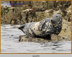 grey-seal-04.jpg