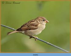 house-sparrow-66.jpg