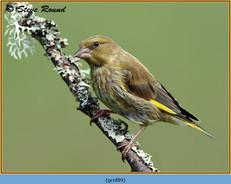 greenfinch-89.jpg