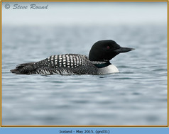 great-northern-diver-31.jpg