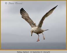 herring-gull-29.jpg