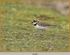 little-ringed-plover-08.jpg