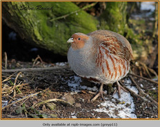 grey-partridge-11.jpg