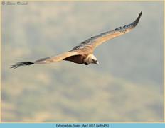 griffon-vulture-76.jpg