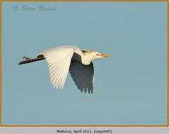 cattle-egret-45.jpg