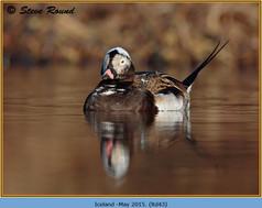 long-tailed-duck-43.jpg