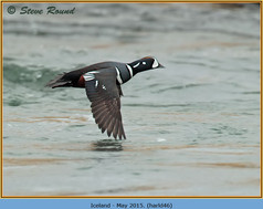 harlequin-duck-46.jpg