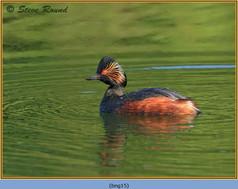black-necked-grebe-15.jpg