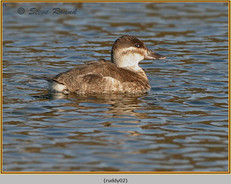ruddy-duck-02.jpg