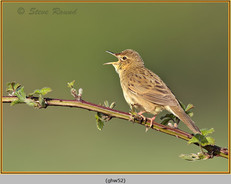 grasshopper-warbler-52.jpg