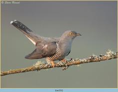 cuckoo-151.jpg