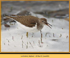 common-sandpiper-03.jpg