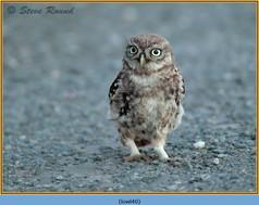 little-owl-40.jpg