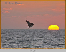 white-bellied-sea-eagle-04.jpg