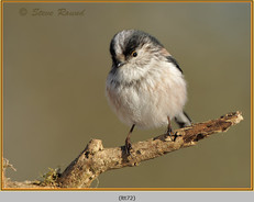 long-tailed-tit-72.jpg