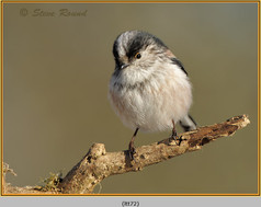 long-tailed-tit-72.jpg