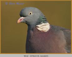 wood-pigeon-02.jpg