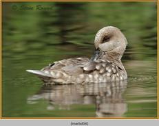 marbled-duck-04c.jpg