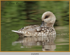 marbled-duck-04c.jpg