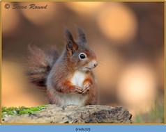 red-squirrel-32.jpg