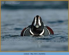 harlequin-duck-42.jpg