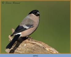 bullfinch-56.jpg