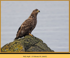 white-tailed-eagle-01.jpg