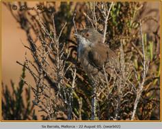 sardinian-warbler-02.jpg