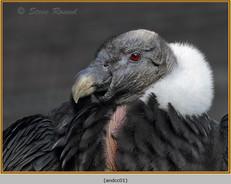 andean-condor-01.jpg